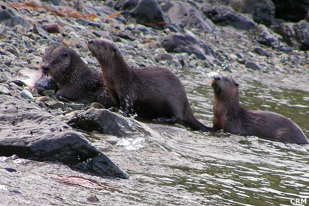 Land Otter:  Lutra canadensis
