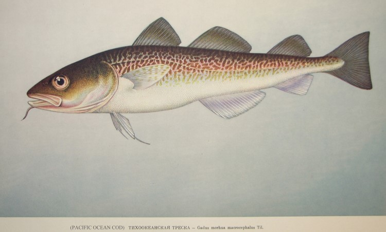Pacific Cod: Gadus macrocephalus (Russian drawing) from NOAA