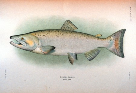 King or Chinook Salmon sketch