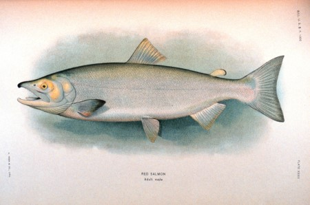 Red Salmon drawing