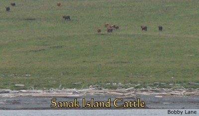 Sanak Island Cattle