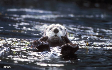 Sea Otter, Enhydra lutris, swimming, looking