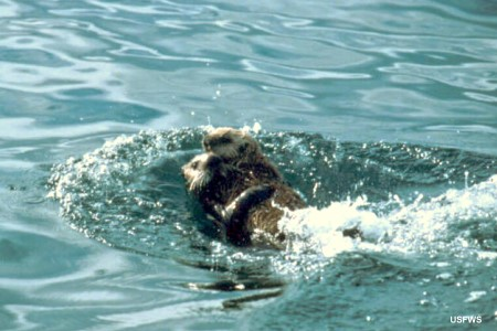 Sea Otter: Enhydra lutris with cub